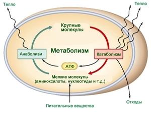 kakie-protsessy-svojstvenny-metabolizmu